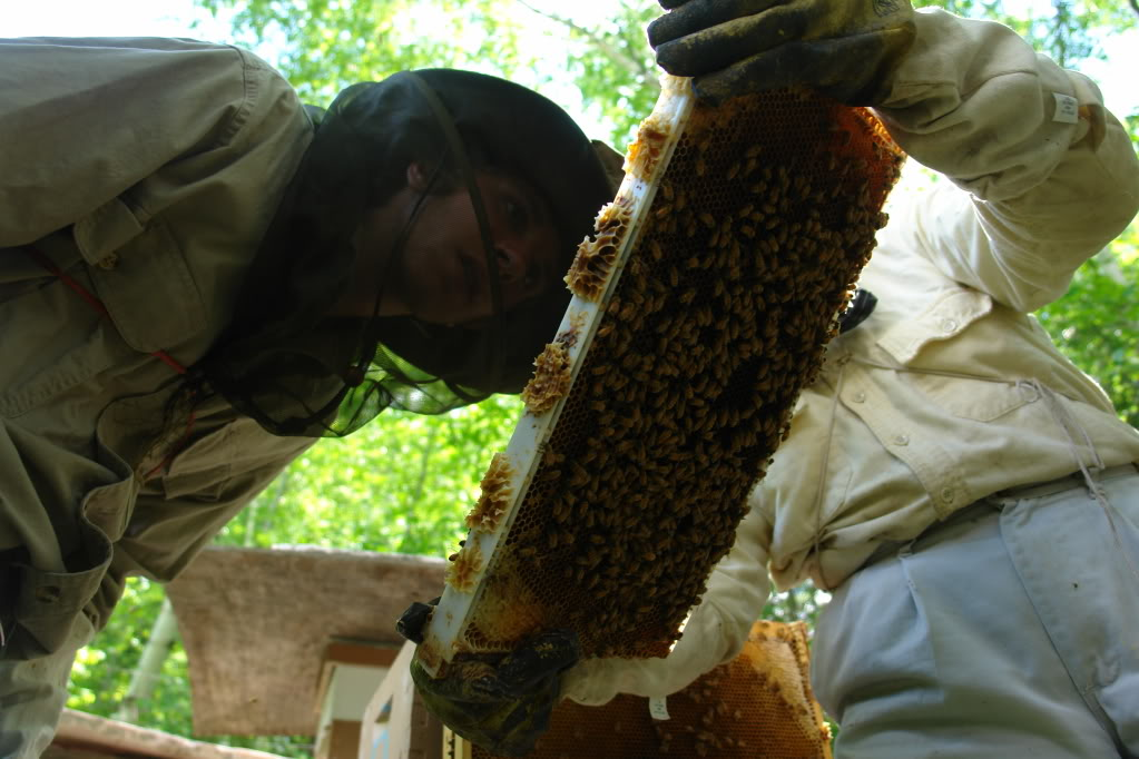 Zaagkii Project volunteer 17-year-old Elliott Burdick of Marquette, MI inspects a honeycomb oozing with honey and covered with thousands of honeybees that is being held by veteran beekeeper Dr. Jim Hayward. (Photo by Greg Peterson)